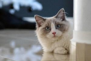 Ragdoll Breed cat