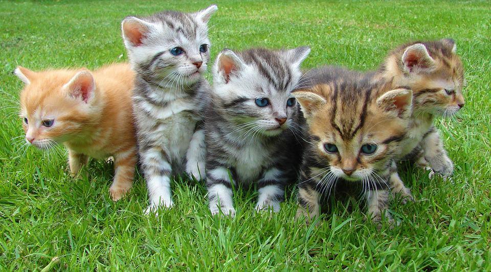 kittens in Australia