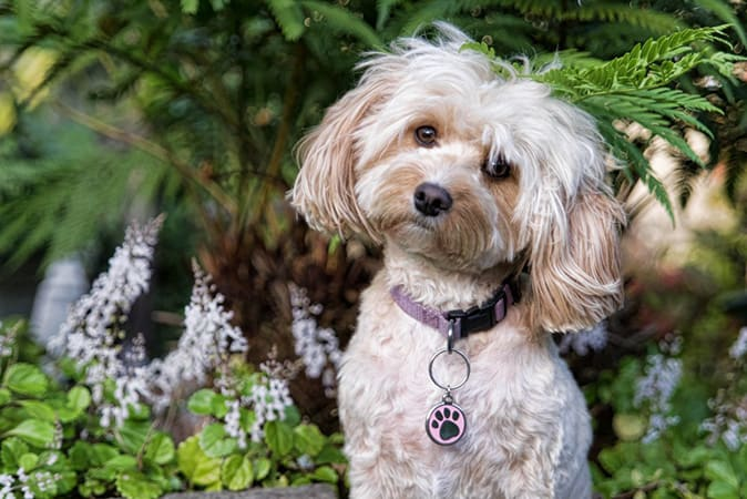 Cavoodle Cavapoo Breed Informaition With Photos Amp Videos
