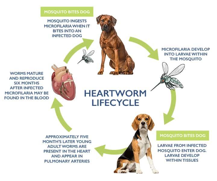 heatworm lifecycle