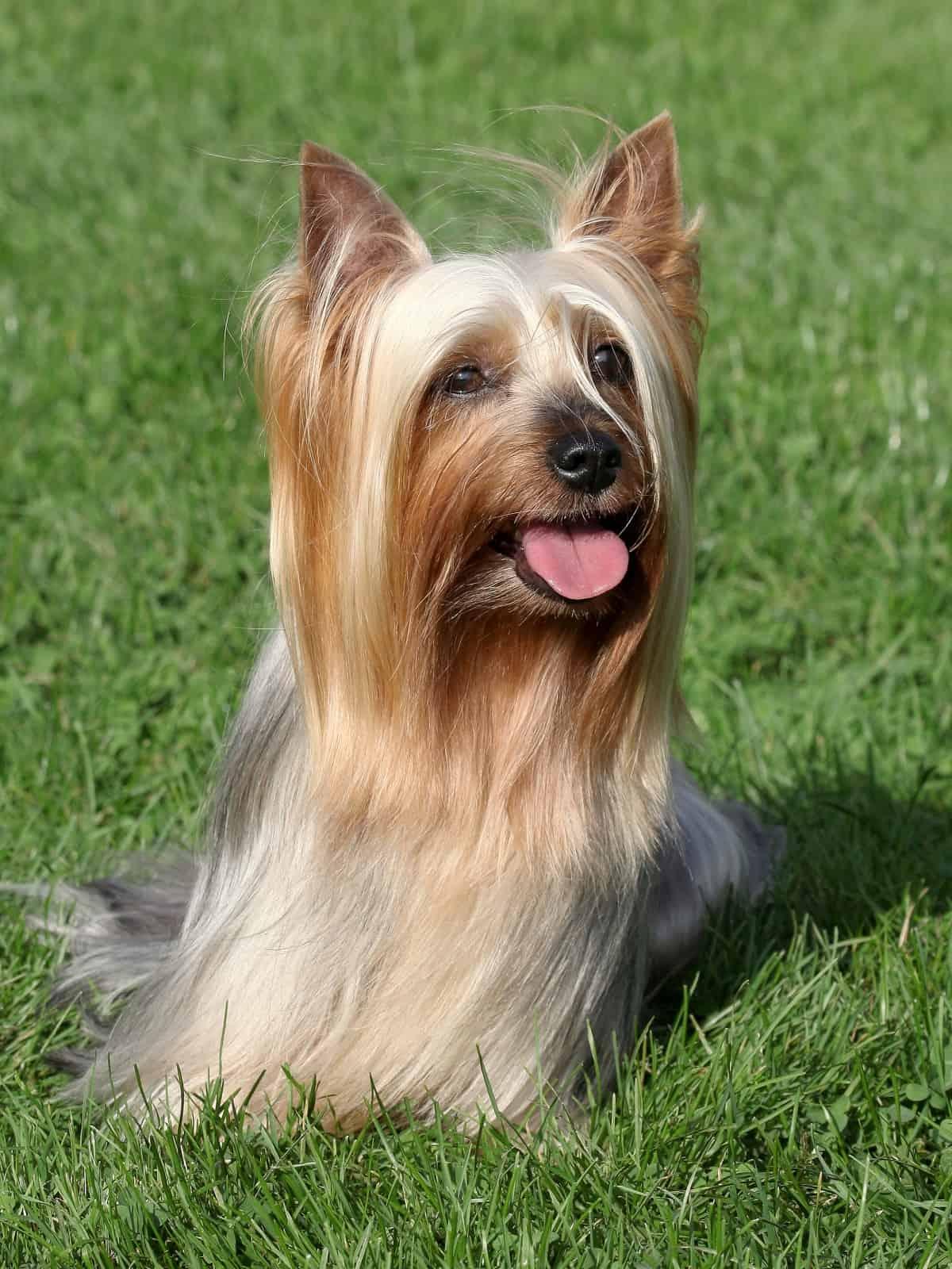 Australian Silky Terrier on the grass