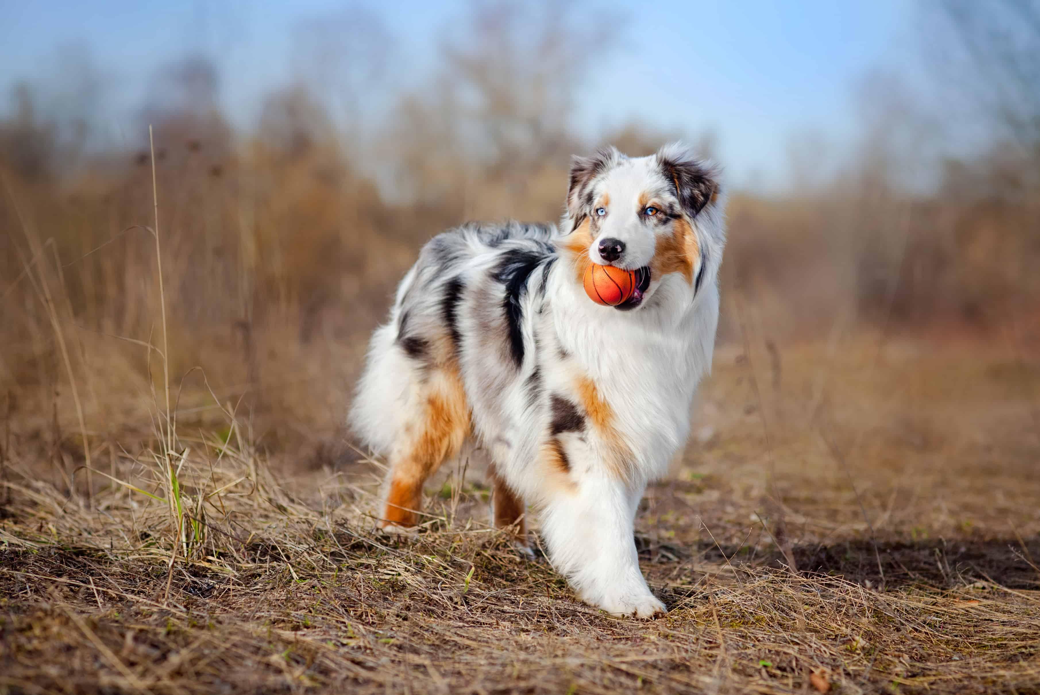 Australian Shepherd Dog Breed Information,stats and Photos ...