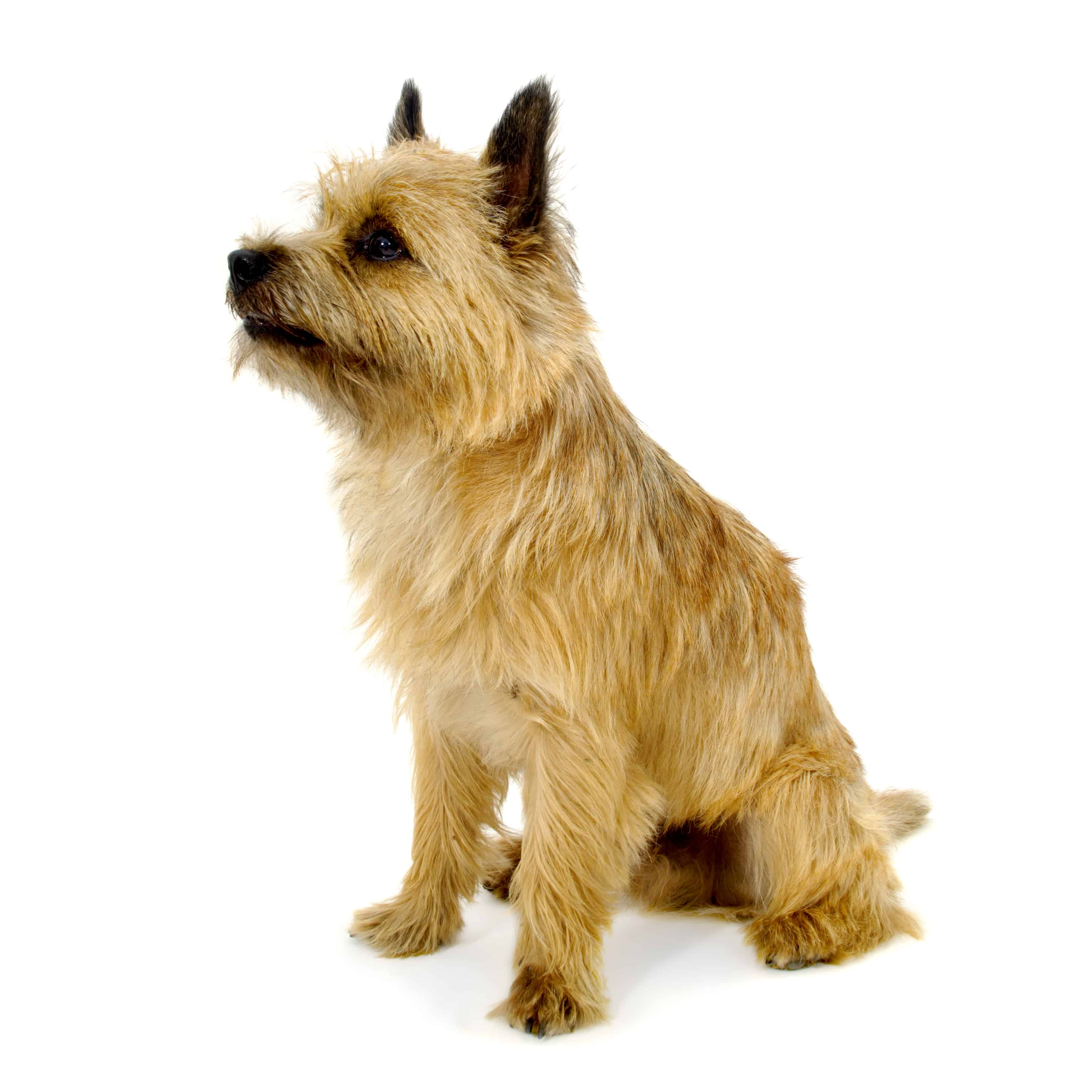 The Cairn Terrier Good Food Guide