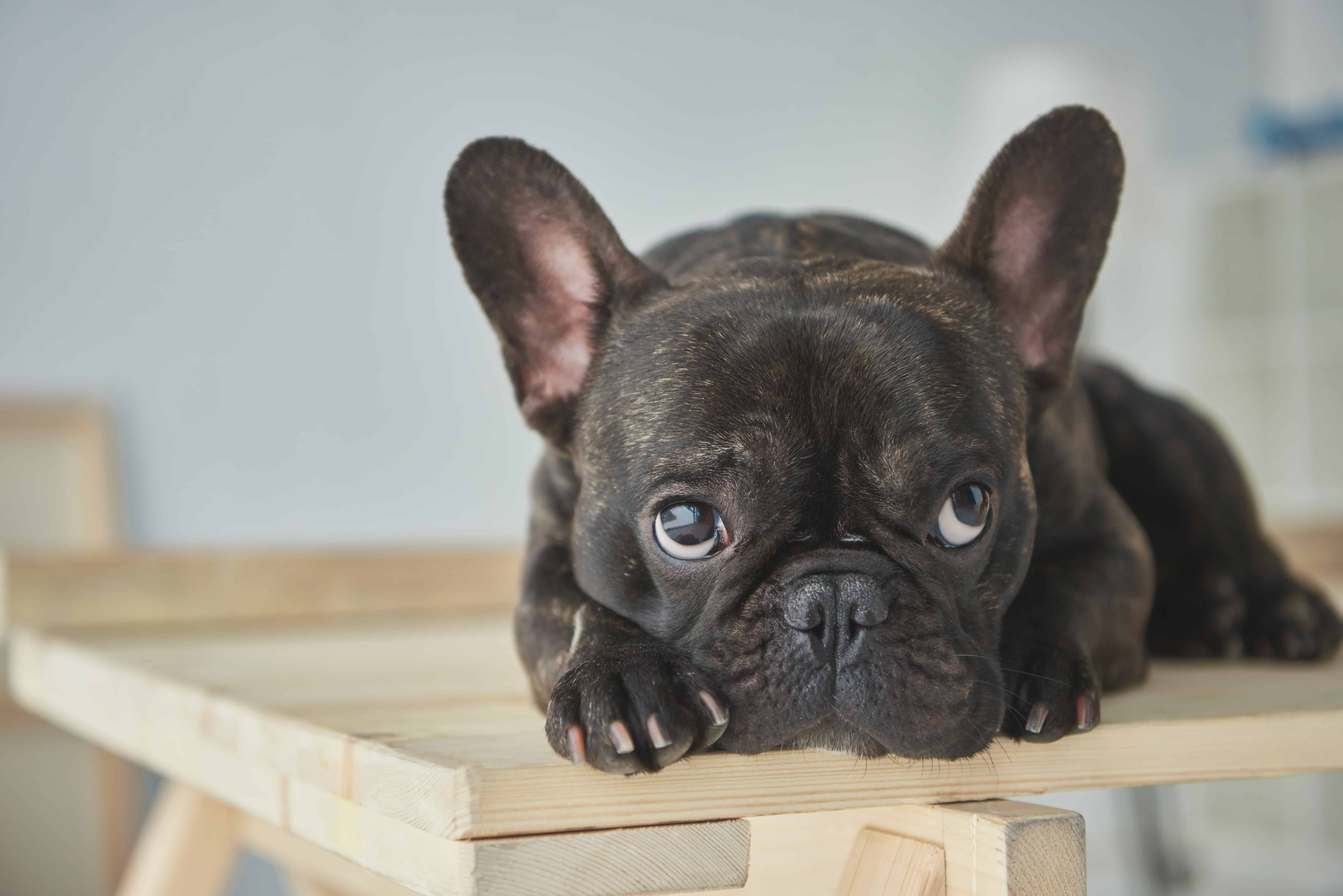 French Bulldog Dog Breed Info, stats with Photos & Videos)