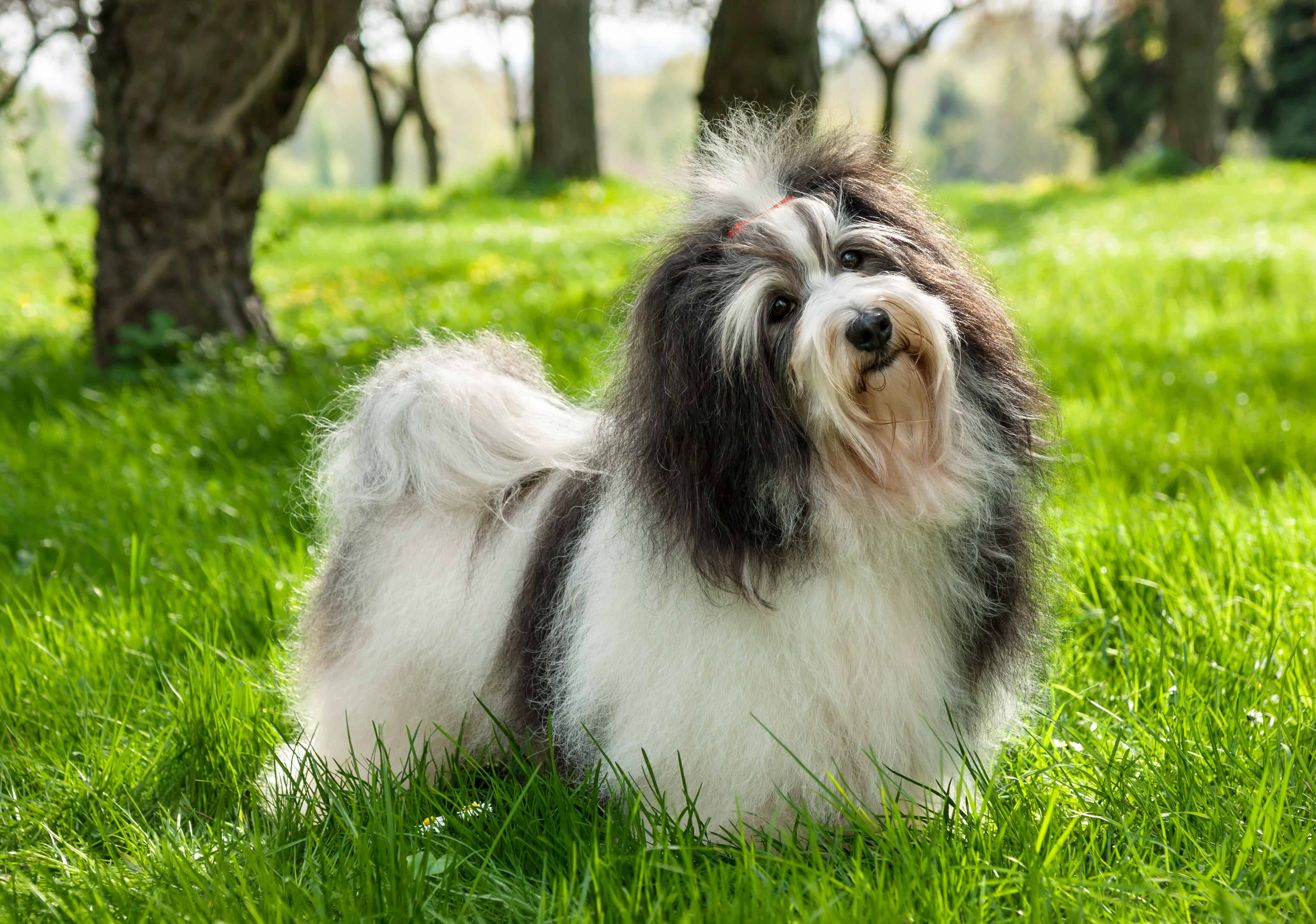 Havanese Dog Breed Info, stats (Photos & Videos) - PetCare ...