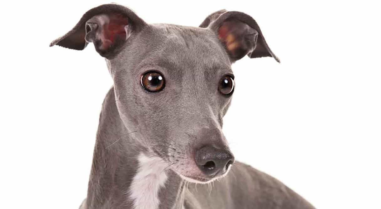 Italian Greyhound Dog Breed Info, stats (Photos & Videos ...