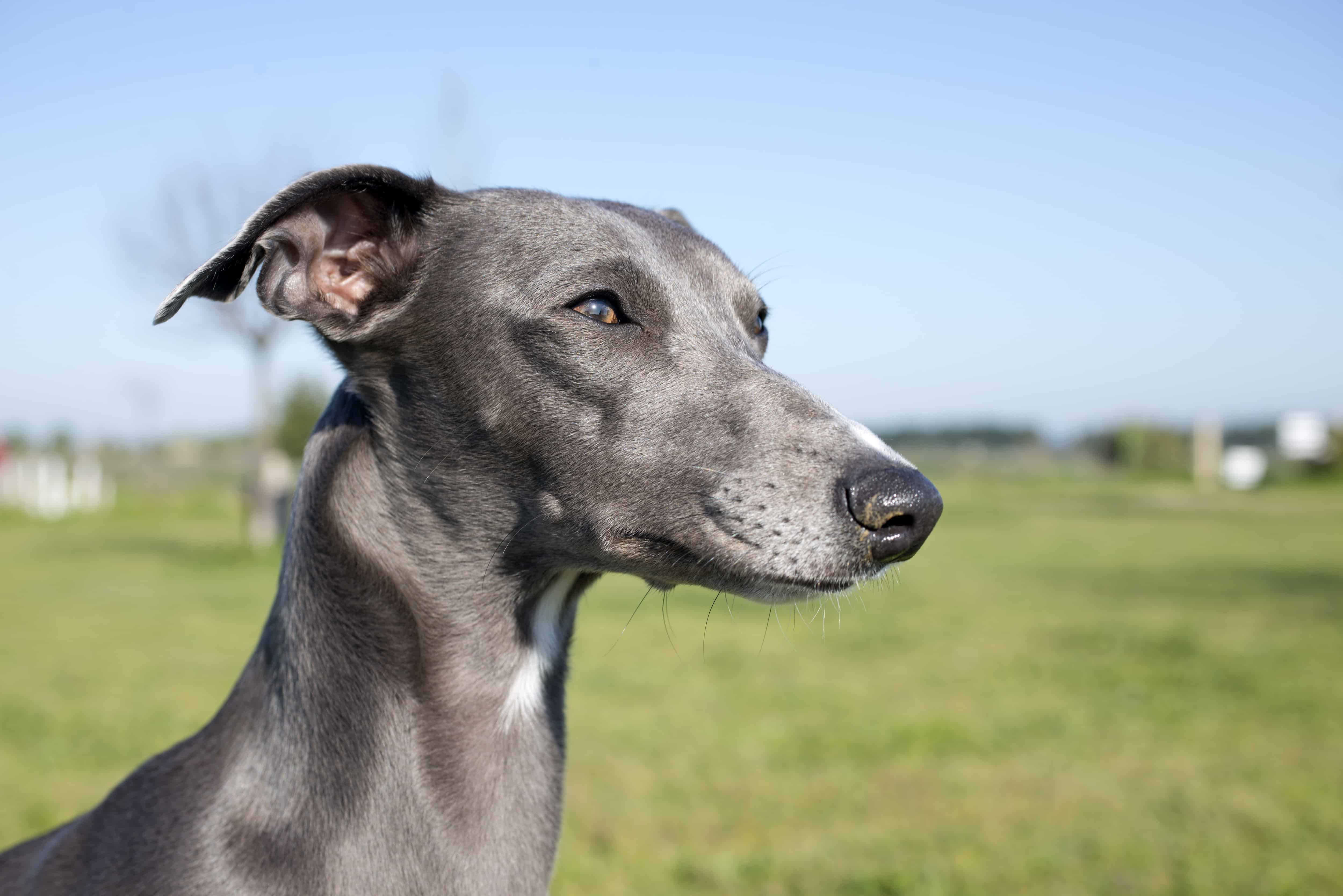 Whippet Dog Breed Puppies For Sale In Maine