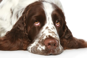 How old is this Springer Spaniel