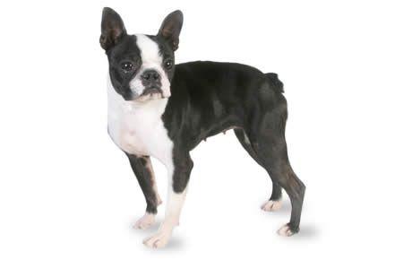 Boston Terrier profile