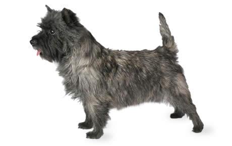 Cairn Terrier photo