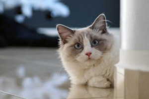 Ragdoll Breed cat