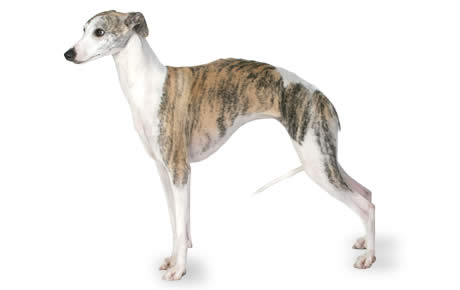Fast Dog Breed Smaller Than Greyhound