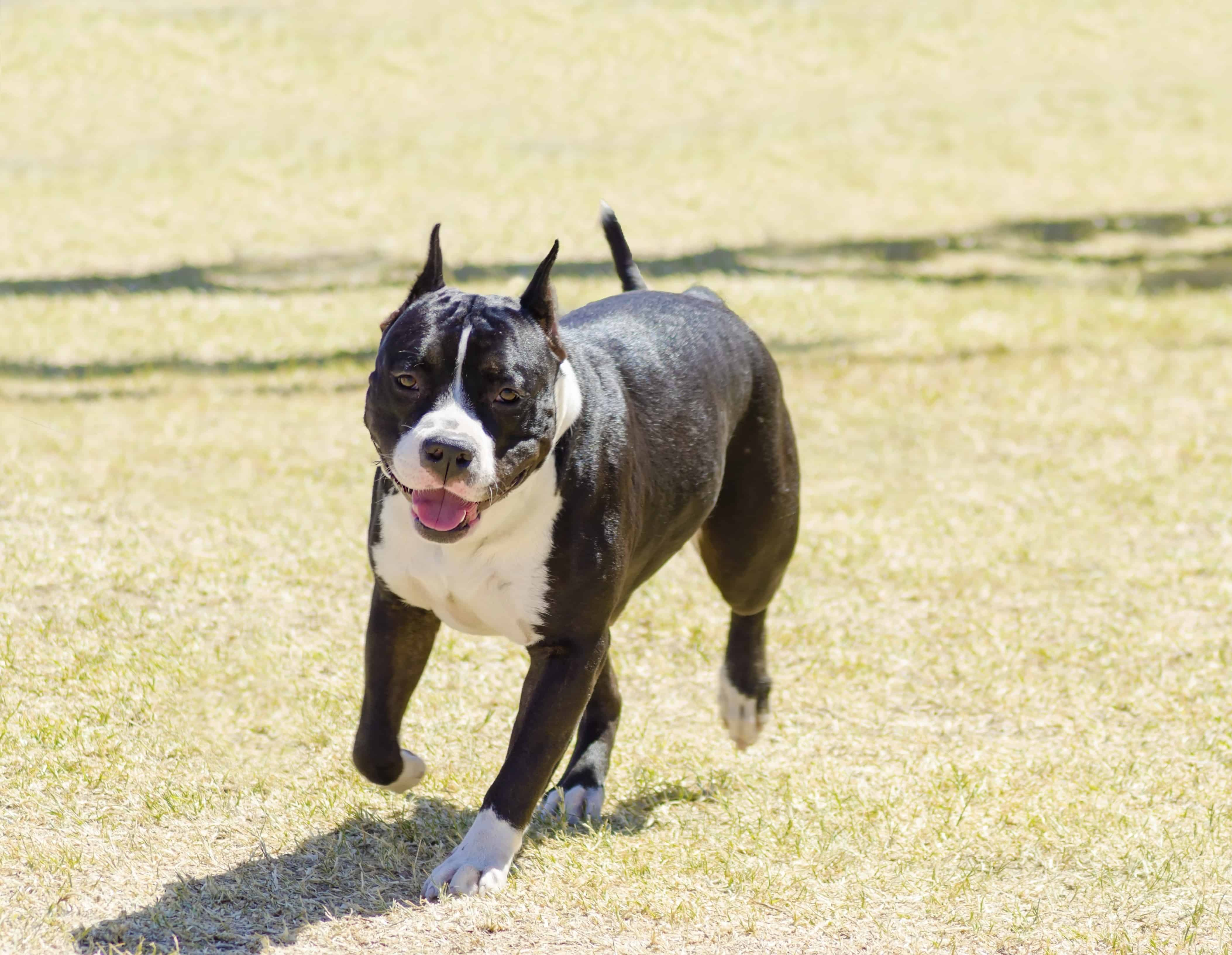 American Bulldog Dog Breed Info, stats (Photos & Videos)