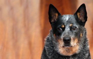 Australian Cattle Dog Information with Photos & Videos