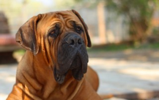 Boerboel Dog Breed Information & Pictures PetCare Australia