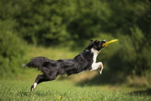 Frisbee and a Border collie in a ground