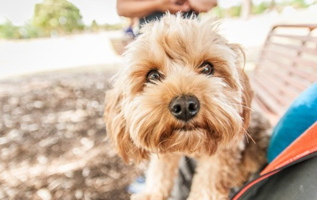 Best Dog Insurance >> Cavoodle (Cavapoo) dog Breed information with photos
