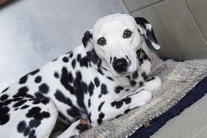 Dalmatian Dog Breed Info, stats (Photos & Videos ...