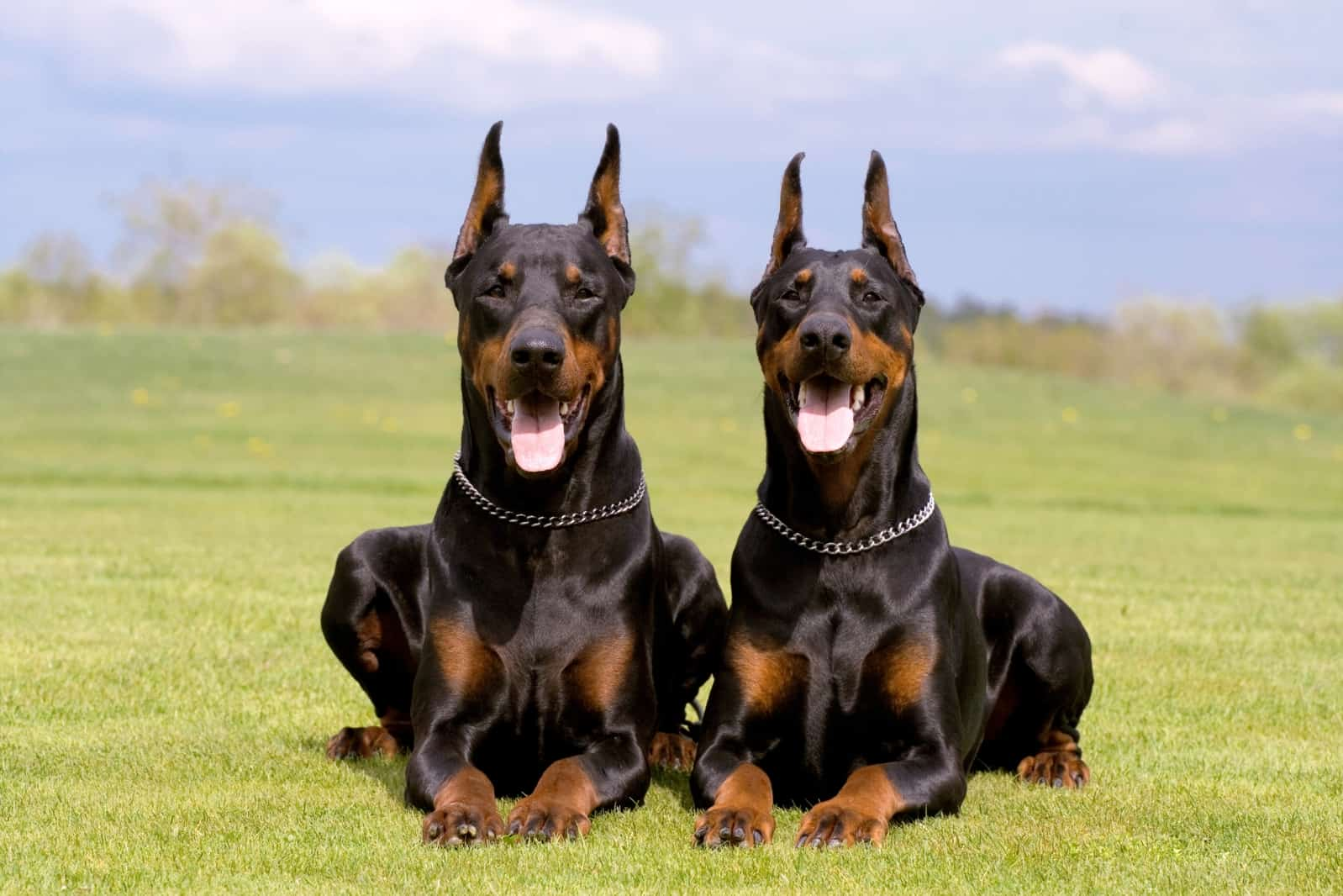 two Doberman-Pinschers