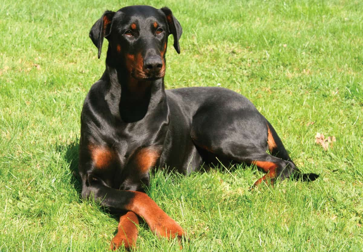Doberman-Pinscher on grass