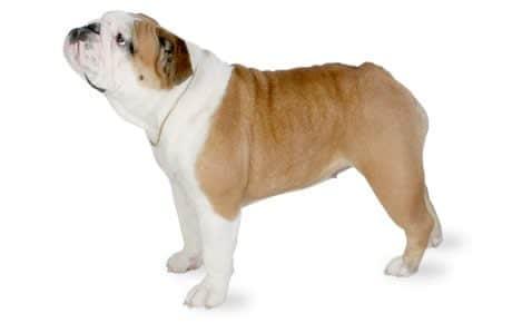 English bulldog profile photo