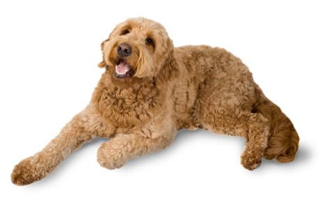 Groodle Goldendoodle Breed Info Stats With Photos Amp Videos