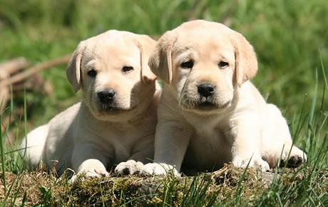 Labrador dog breed info stats photos videos petcare for Dog house for labrador retriever