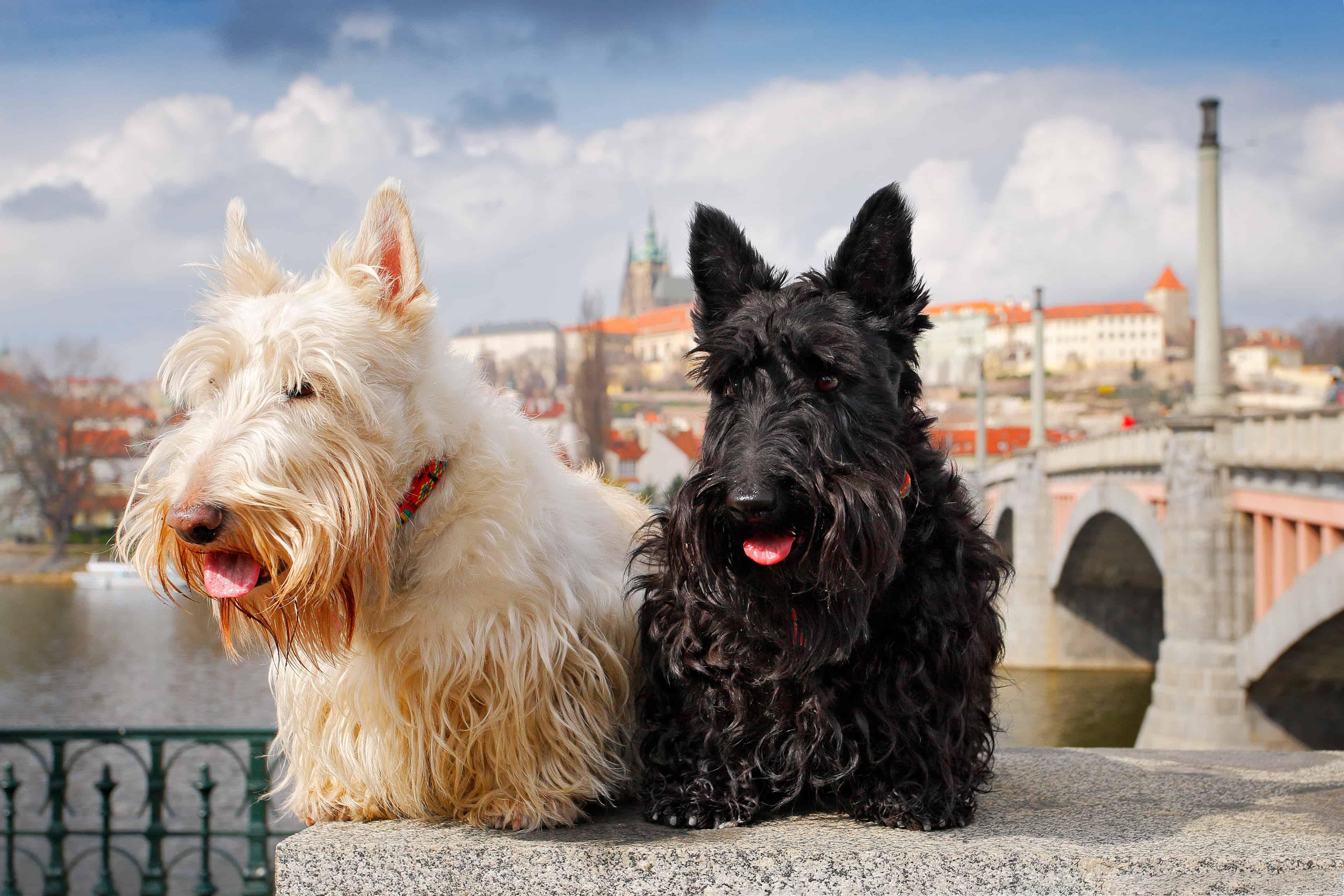 Scottish Terrier Dog Breed Information Temperament With