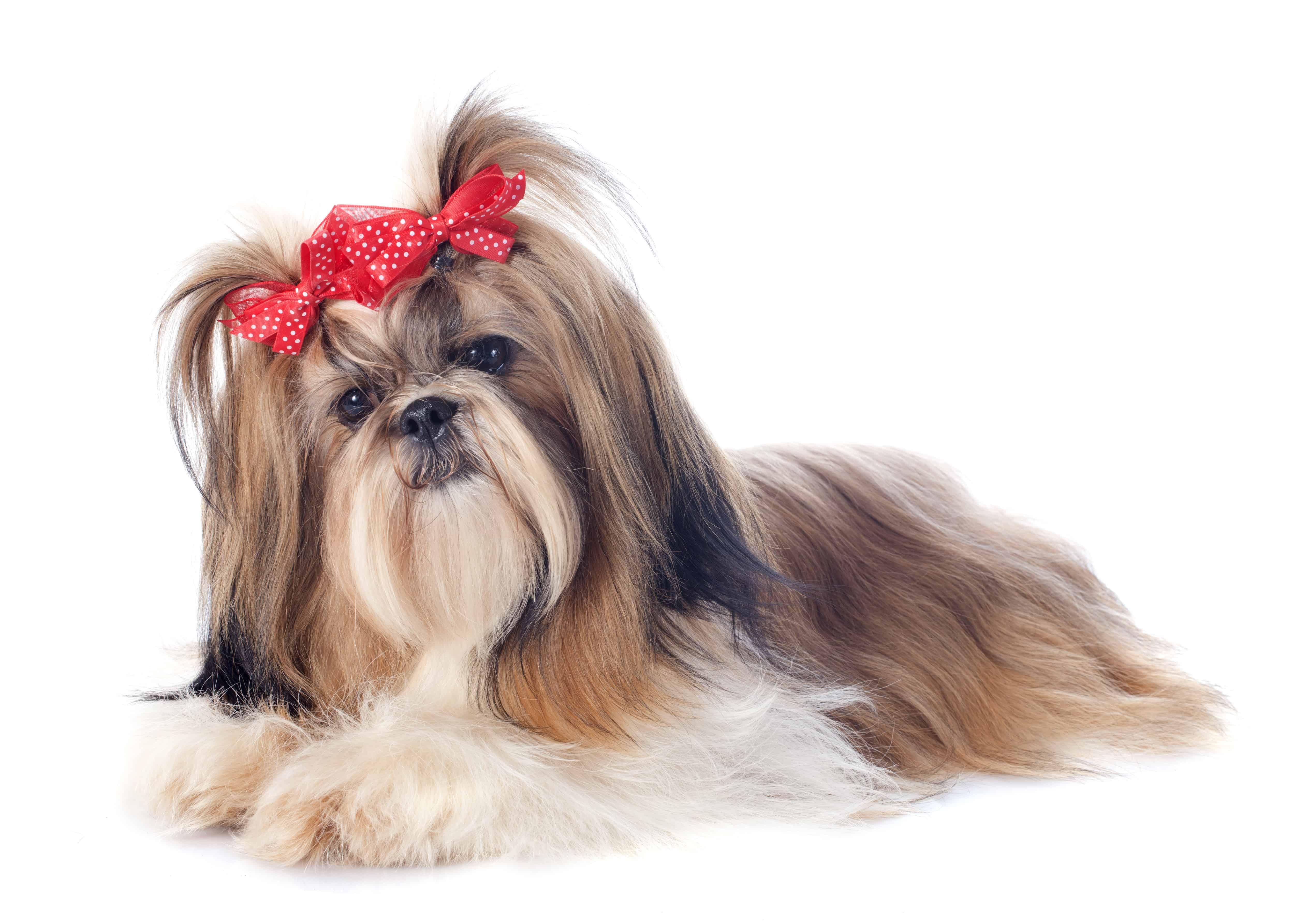 Shih Tzu Dog Breed Info, stats (Photos & Videos) - PetCare ...