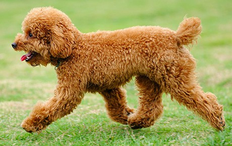Toy Poodle Dog Breed Info Stats Photos Videos Petcare
