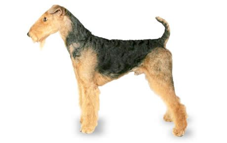 airedale terrier profile photo