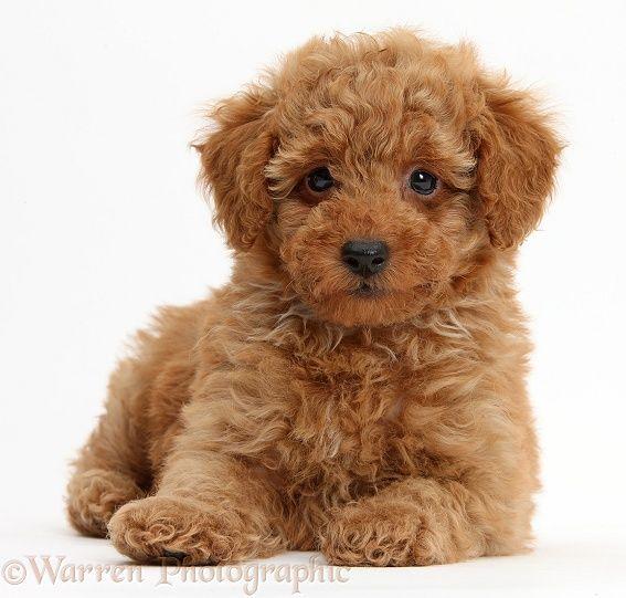 Dog Training Toy Poodle