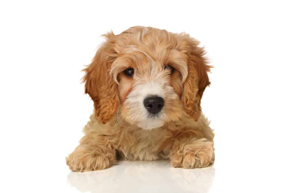 What Are Cavapoo Dogs Like