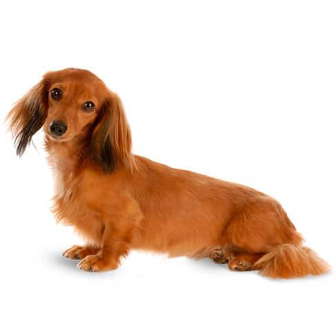 Miniature Dachshund Dog Breed Info Stats Photos Amp Videos