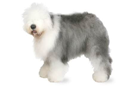dog breeds - old English sheepdog