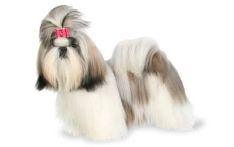 Shih Tzu Dog Breed Info Stats Photos Amp Videos Petcare