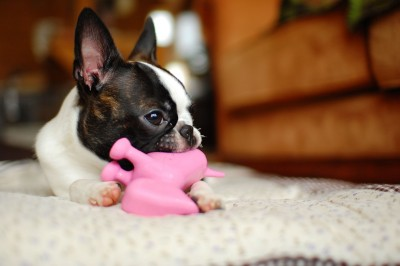 Boston_terrier_Play_with_toys