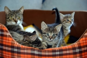 beautiful three kittens in a basket