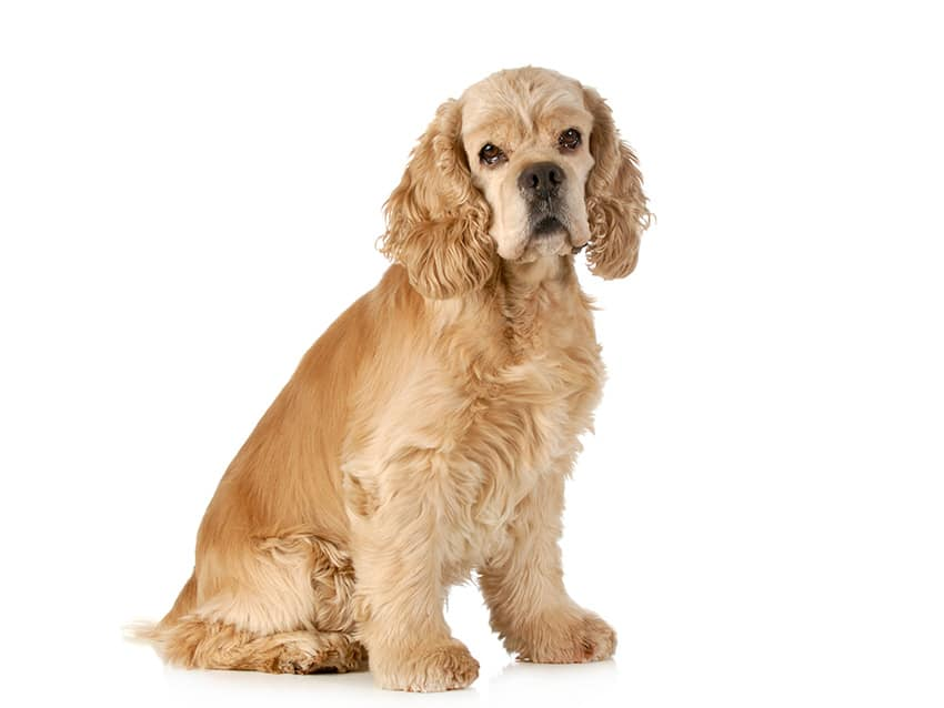 American Cocker Spaniel Dog Breed Info Stats Photos