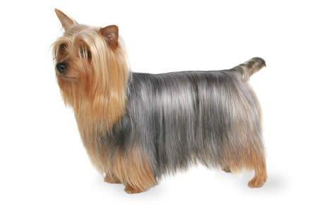 Australian Silky Terrier photo