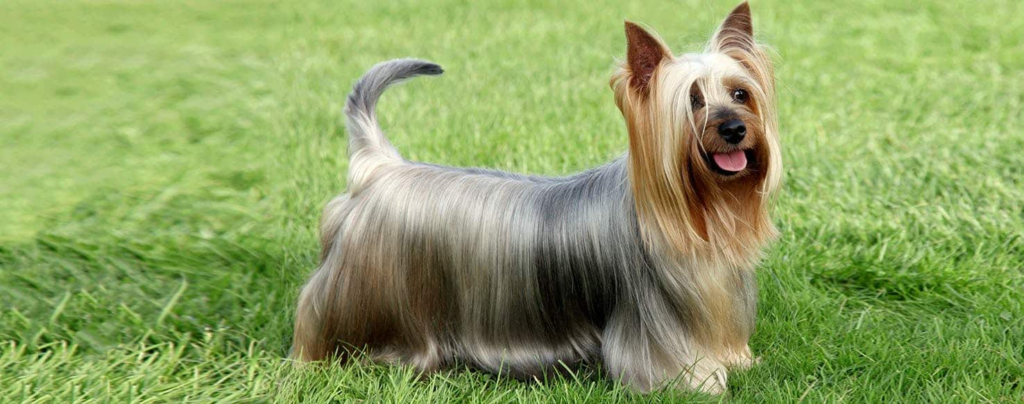 Australian Silky Terrier Breed Information with Photos ...