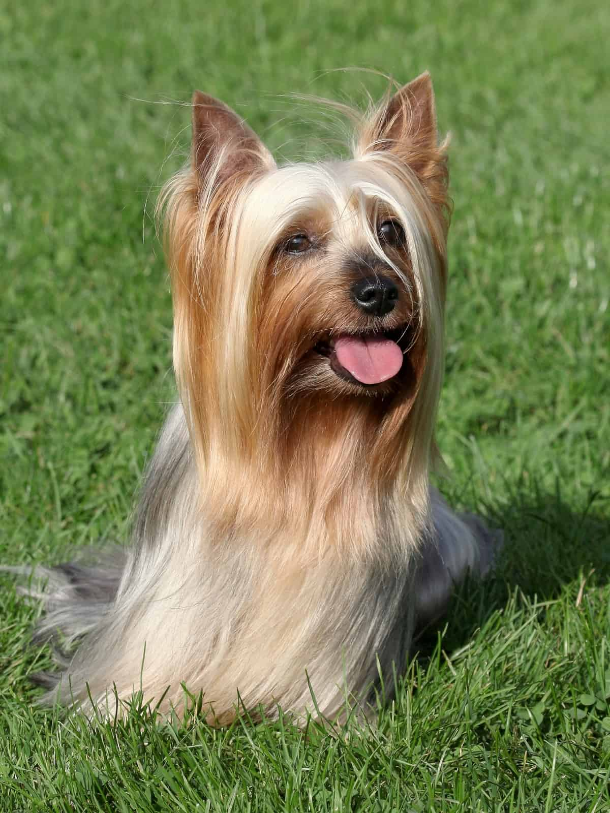 Australian Silky Terrier on the grass