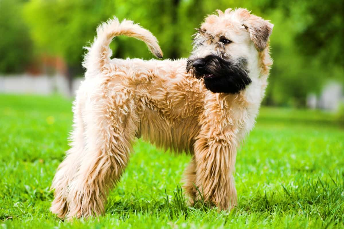wheaten terrier stay on grass