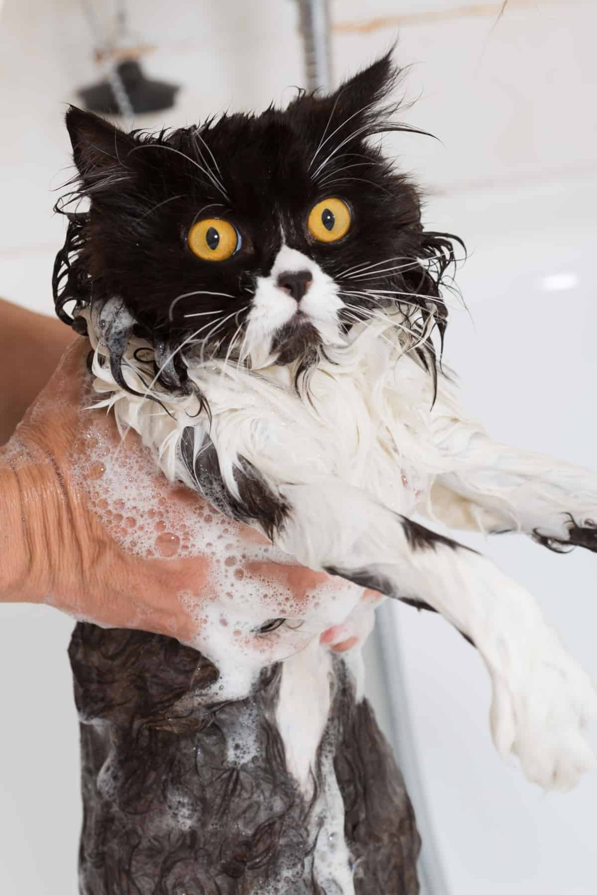 wet cat after shampoo