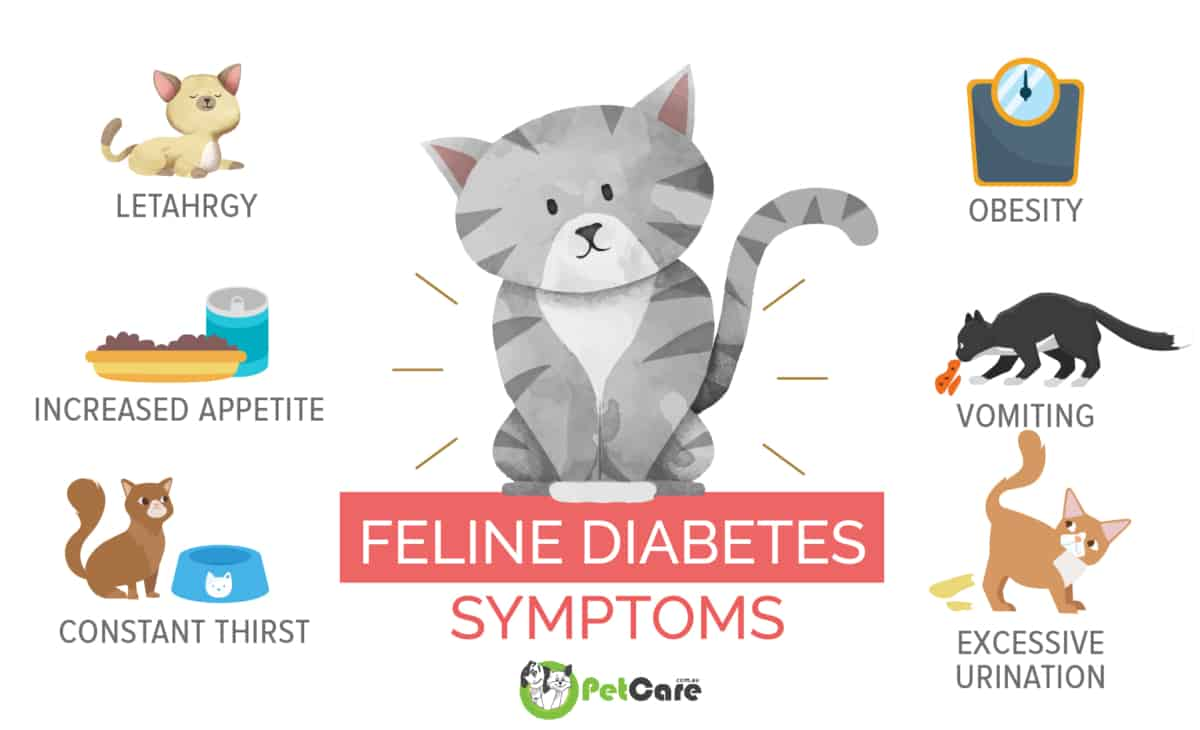 cat diabetes symptoms infographic