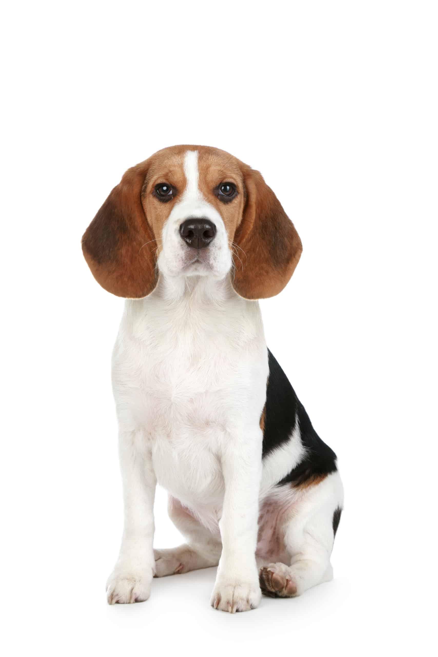 Beagle profile photo