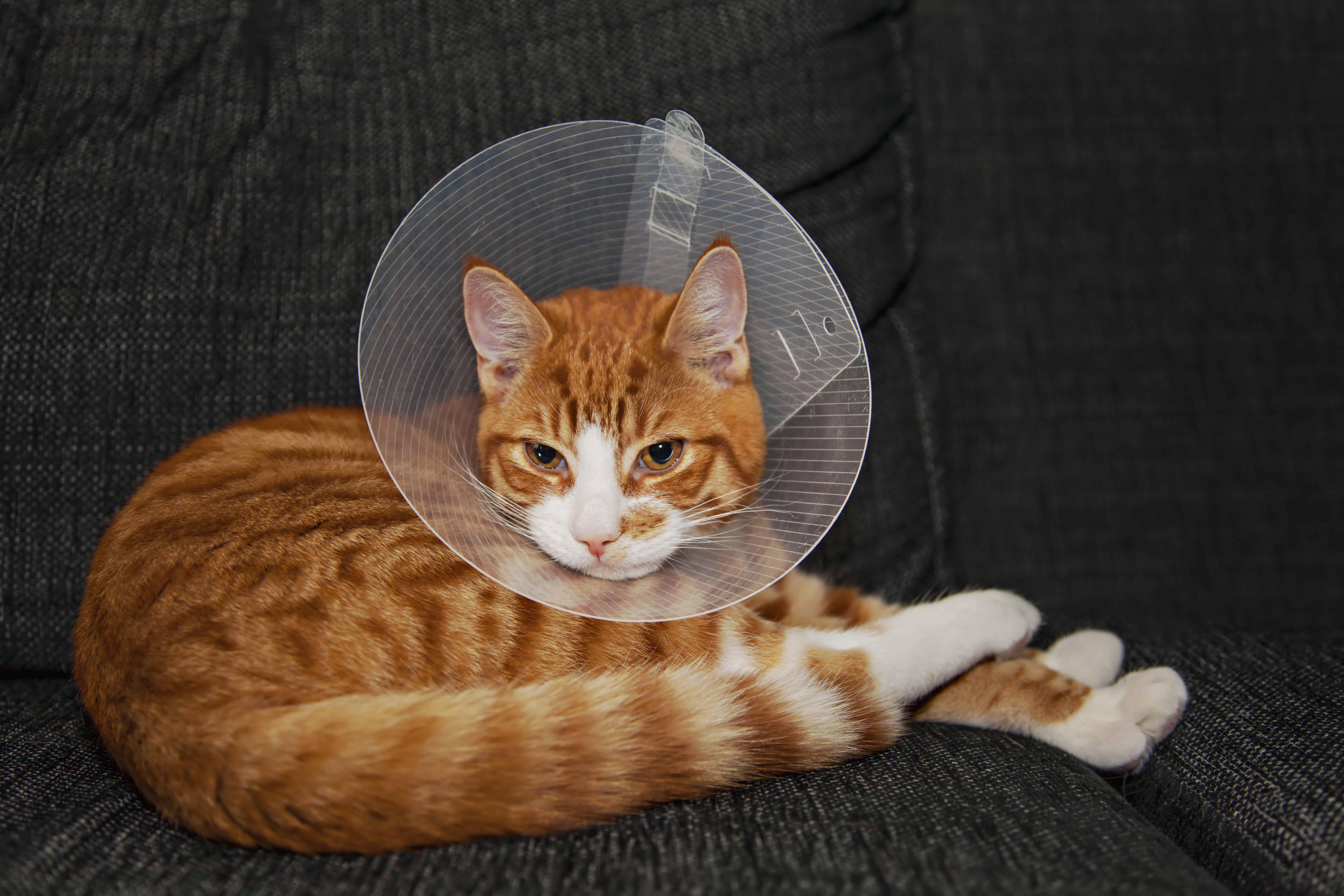 Cat in a shame cone