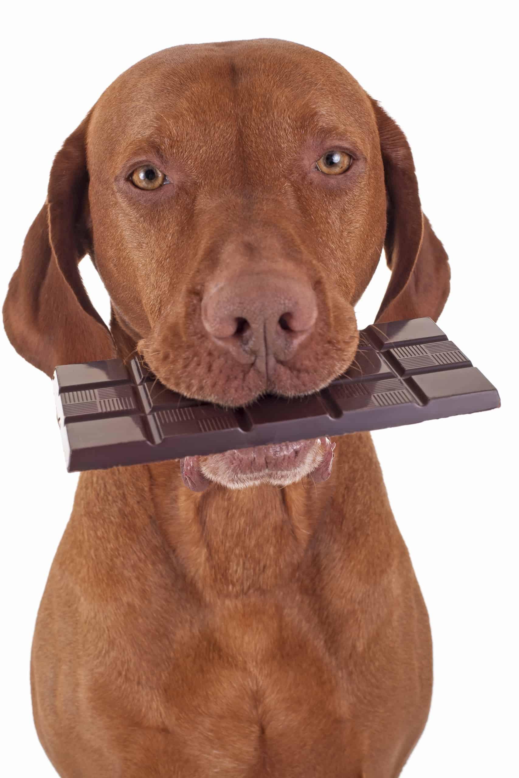 Dog with chocolate slab