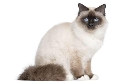 Birman Cat profile photo
