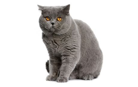 british shorthair cat breeds